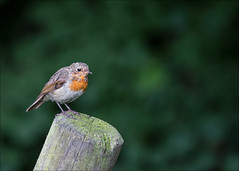 Robin on a post (catb -) Tags: wicklow kilmacurragh nationalbotanicgardens bird robin erithacusrubecula