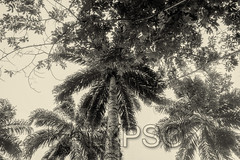 Palm Trees, Amazonian Jungle (kalypsoworldphotography) Tags: amazon amazonia amazonian background blue botany bottom branch closeup cuyabeno ecuador environment evergreen exotic flora fruit green high huge jungle large leaf leaves national natural nature nut organic palm park plant raw ripe sheath sky stem straight subtropical tall tree tropic tropical tubular unbranched wild wilderness blackandwhite filter yasuni monochrome