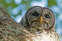 Barred Owl (snokiepeters) Tags: