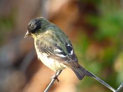 Lesser Goldfinch (valsworld98) Tags: california agoura hills finch bird yellow