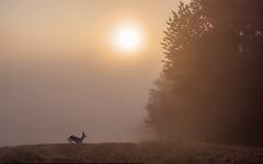 da lacht das Herz... (Florian Grundstein) Tags: nature wild fog sunset sunrise deer young animal rehbock field trees mood light shadow nikon d610 nikkor wildlife grundstein florian