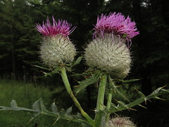 Woolly thistle (aniko e) Tags: asteraceae cirsium cirsiumeriophorum thistle woollythistle distel wollkpfigekratzdistel mnchskrone aszat gyapjasaszat pink flower thorns plant summer forest
