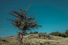 Lone tree (Wouter de Bruijn) Tags: fujifilm xt1 fujinonxf35mmf14r tree single lone alone landscape nature outdoor plant grass meadow depthoffield