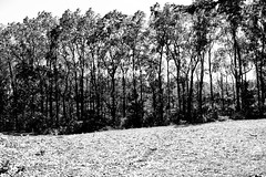 Young Trees (Jade Chanoquaway) Tags: nikon nikkor d5500 blackandwhite black white grey gray grayscale greyscale bw contrast light shadow monochrome silhouette shadows outdoor outside outdoors nature tree trees leaves leaf forest foliage plant plants field fields meadow meadows sun sunlight sunshine fall autumn september ontario canada landscape serene