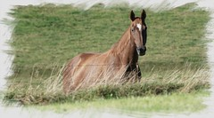 Jument (Pop626262 (Fort occup)) Tags: freedom cheval ardennes belge nature champ prairie jument