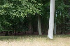Misch (Raphs) Tags: bogns denmark danmark forest beech trees treetrunk smooth grey edgeofthewood wood green standingout raphs canoneos70d tamronspaf1750mmf28xrdiiildaspherical