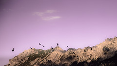 Leaving (marco soraperra) Tags: raven sky clouds sunset pink mountains bird animal light shadow nikon nikkor