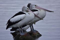 Relaxing on the rocks (Luke6876) Tags: australianpelican pelican bird animal wildlife australianwildlife