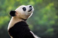 Pandamonium (Marsel van Oosten) Tags: marselvanoosten squiver china asia sichuan giantpanda panda animal wildlife bamboo endangered vulnerable cute charismatic fur furry cutenessfactor bear phototour workshop