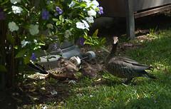 ducks-1-11 (leoniefollett) Tags: birds dam ducks flowers practice