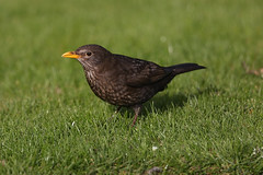 Blackbird female listening for worms Siblands 12.4.2015 (1) (Margaret the Novice) Tags: blackbirds fantasticnature