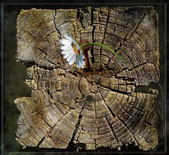 Altes Holz mit Nagel (calimiel) Tags: effects perfect natur 9 fujifilm rost holz blte nagel altes verwittert texturen photosho xa1 rostiger xc1650mmf3556