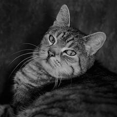 Blickkontakt (sirona27) Tags: katze getigert liegend hauskatze schwarzweis