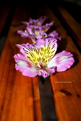 Astromelia (pasta frolla) Tags: rosa natura giallo fiori giardinaggio astromelia