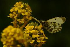 DSC02250 - Female Orange Tip (steve R J) Tags: orange female butterfly meadows reserve tip valley british roding ewt