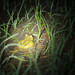 Hurter's Spadefoot, Male