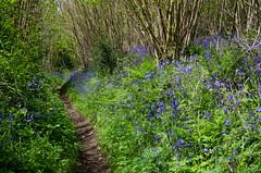 124/365 - Bluebell walk (Spannarama) Tags: uk trees light sunlight green grass sunshine bluebells kent path may 365 footpath ightham
