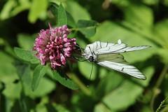 Schmetterling (Hugo von Schreck) Tags: butterfly insect outdoor falter insekt schmetterling aporiacrataegi baumweisling tamron28300mmf3563divcpzda010 canoneos5dsr hugovonschreck