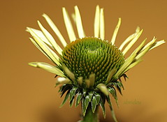 Echinacea purpurea White Lustre (abrideu) Tags: echinaceapurpureawhitelustre abrideu canoneos100d flower depthoffield white macro indoor bud symmetry organicpattern ngc npc