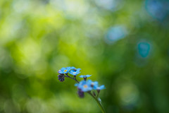 Bokehlicious summer (1) (Karsten Gieselmann) Tags: wood blue color green forest de bayern deutschland spring dof seasons bokeh jahreszeiten olympus forgetmenot wildflowers grn blau wald farbe frhling schrfentiefe m43 wildblumen mft vintagelens teublitz czjpancolar50mmf18 vergismeinnicht microfourthirds em5markii kgiesel