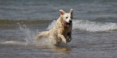 Cool Customer....................... (nick.linda) Tags: bamburgh northumberland dog sea coolingoff splash water canon7dmkii sigma150600c