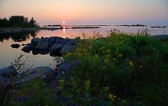 Wild flowers (STTH64) Tags: flowers wild sea seaside panike finland raippaluoto replot sky sun sunset