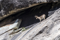 Capra pyrenaica victoriae (ipomar47) Tags: avila castilla leon espaa spain ibex capra goat flock wild pyrenaica victoriae cabra montes salvaje gredos sierradegredos pentax k3ii