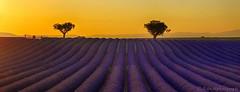 Un voile de Bonheur........ (Malain17) Tags: sillons landscape lavender provence france photography photographers flickr pentax image mariage perspective colors coucherdesoleil sky arbres nature fleurs lumire travel wow