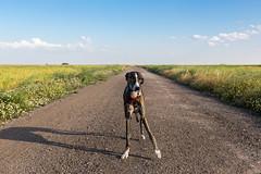 asymmetric scape (The eclectic Oneironaut) Tags: espaa greyhound canon eos spain valladolid 6d 2016 galgo castillayleon villanubla