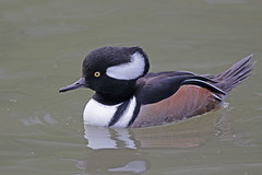 Hooded Merganser (Alan Gutsell) Tags: lake canada bird nature canon duck birding saskatoon migration hooded merganser hoodedmerganser hotspots