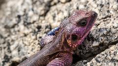 Agama Agama (aaRJay fotography) Tags: tanzania wildlife lizard gecko serengeti agama shinyanga raghujana aarjayphotography ngorongoraconservationarea