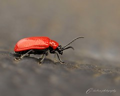 Red for danger-explored 2/8/16 (~ **Barbara ** ~) Tags: red lilybeetle insect small tiny garden flowers damage macro canon7dii summerwatch explored