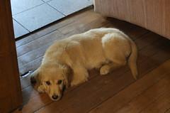 KONA (CERROELOL) Tags: golden retriever perros mascotas