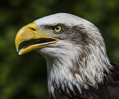 Liberty the Alaskan Bald Eagle (Nick L) Tags: bird eye canon liberty eos eagle beak bald raptor 7d alaskan ringwood 100400l alaskanbaldeagle raptorcentre canon7d libertythealaskanbaldeagle