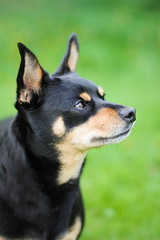 Miniature Pinscher / Chihuahua mix (astakatrin) Tags: miniature pinscher chihuahua dog
