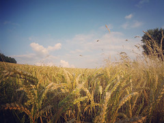 (kly420) Tags: img2670 gopro hero lcd kornfeld blauer himmel getreide erntezeit corn