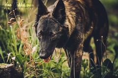 IMG_8372 (jabberjinx) Tags: hollandse hollandseherder holsku hollanninpaimenkoira hh dutchshepherd dutchie brindle forest woods