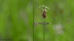 Libelle (Oerliuschi) Tags: see wasser dragonfly natur libelle insekten fluginsekt