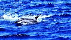 DELFIN LISTADO (wiedu09) Tags: delfin estrecho delfinlistado