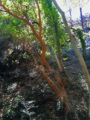 Arbutus unedo (strawberry tree) in Caledonia waterfalls, Platres village. Troodos. Cyprus July 2016. (Langbach) Tags: wood tree forest cyprus hike foss tre sommerferie strawberrytree troodos arbutusunedo kypros langbach caledoniawaterfalls platresvillage jordbrtre july2016