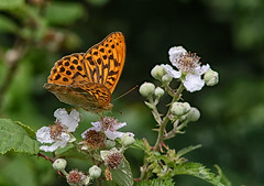 SILVER WASH FRITILLARY 267 (gazza294) Tags: butterfly fritillary flicker flickr flckr flkr gazza294 garymargetts