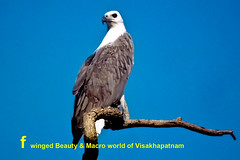 white-bellied-sea-eagleprofile-copy (prem swaroop) Tags: whitebellied sea eagle perch monogomus good visibility they live together for life