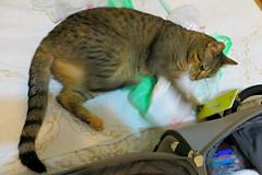 Key West (Florida) Trip 2015 7854Ri 4x6 (edgarandron - Busy!) Tags: coco cat cats kitty kitties taby tabbies cute feline florida keys floridakeys keywest blueparrotinn