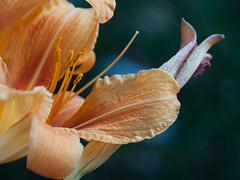 Florale Schnecke (ustrassmann) Tags: sommer natur makro blte lilie formen makrofotografie bltenstempel formendernatur floraleschnecke