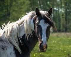 Quarter Horse (photalena) Tags: 7dwf horse animal fauna