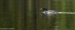 """A Beauty"" (maureen.elliott) Tags: commonloon bird waterbird wildlife swimming water lake quebec nature"