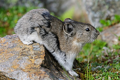 Pika - Full Frame - No Crop (AlaskaFreezeFrame) Tags: pikas cute alaska alaskafreezeframe canon 70200mm outdoors nature wildlife mammals mountains fall climbing pika rodent rocks closeup portrait fullframe beautiful eating skittish