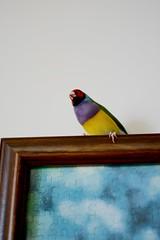 DSC_9244 (Jenny Yang) Tags: 小呆 小蕃茄 胡錦鳥 寵物鳥 lady gouldian finch pet bird