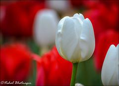 OTW_4824_e (vishalb_bkn) Tags: florals plants garden bloom blossom spring nature bokehlicious flower tulip