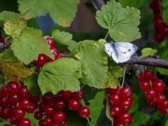 (Pieridae) Pieris napi , Rapsfjril / Green-veined white (holgeric77) Tags: karlstad vrmlandsln sweden se pieridae pierisnapi